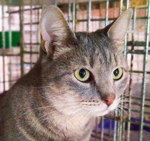 Полосатик Рафаэль, котику 9 месяцев, кастрирован кот кошка