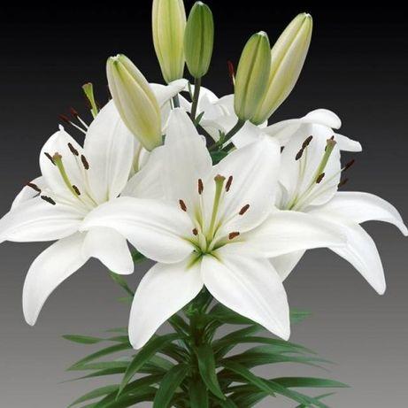 Lilia biała - zamiana
