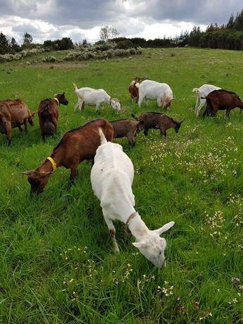 Cabras de leite e um macho