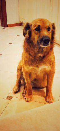 Киев, Голосеевский район! Найдена рыжая собака сука метис.