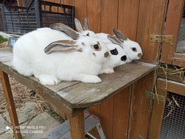 Sprzedam młode króliki 3 samice i 1 samiec
