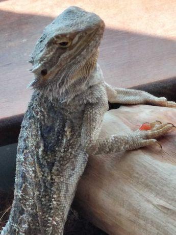 Agama jaszczurka brodata z terrarium