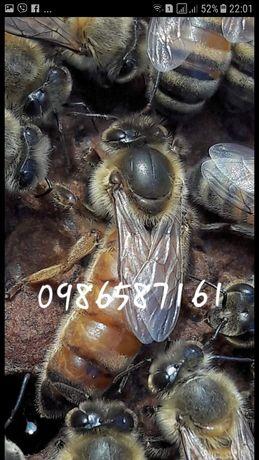 Пчеломатки бакфаст в наличии!пчел,матки, итальянки, бджоломатки