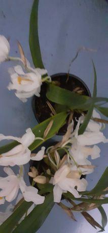 Orquidea rainha da neve