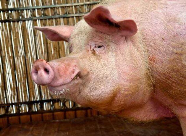 Свинина , кабан , хряк , живым весом