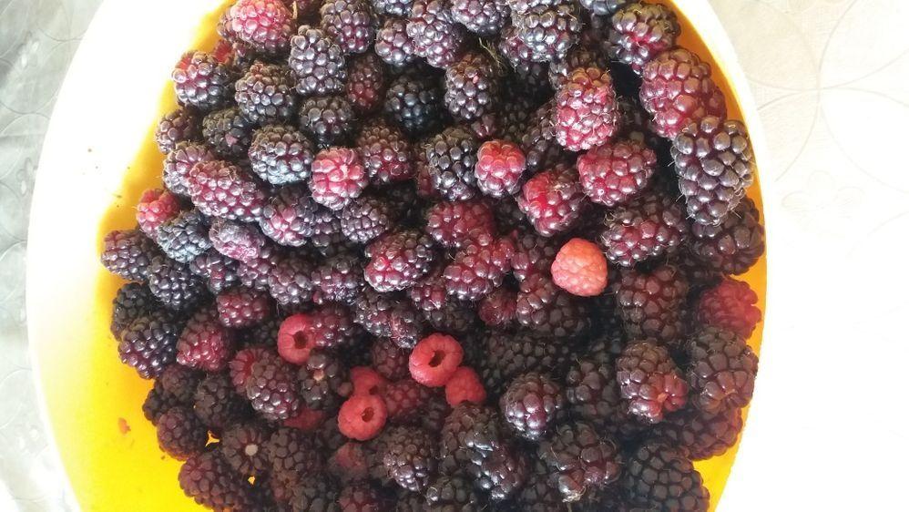 Plantas framboesas e amoras long berry Penafiel - imagem 1