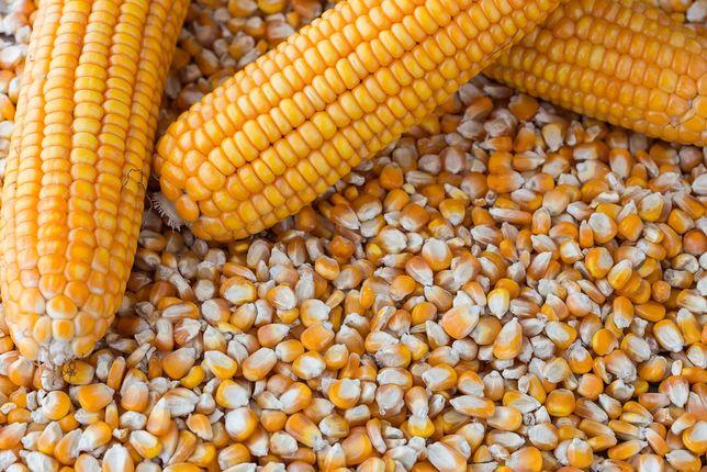 Kukurydza - sucha