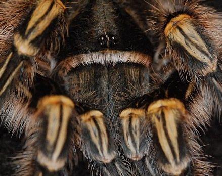 павук птахоїд для початківця подарунок паук птицеед подарок новичку