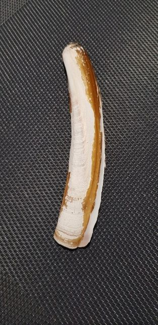 Muszla morska Ensis ensis, Linnaeus, 1758