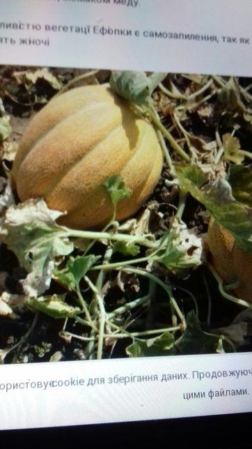 Продам насіння дині Ефіопка