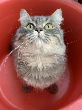 Стерилизованная кошка в частный дом