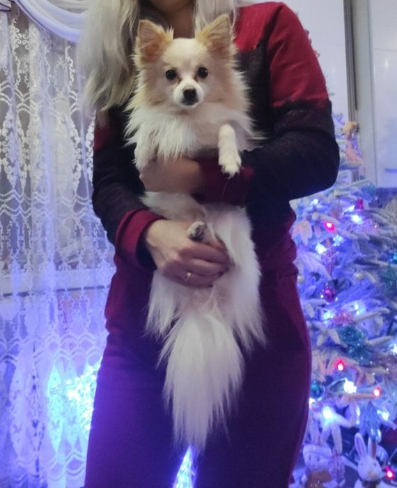 Продам щенка карликового самоеда Харьков - изображение 1