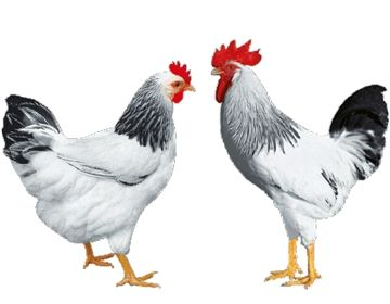 Яйця м'ясо- яєцного, яєчного направлення