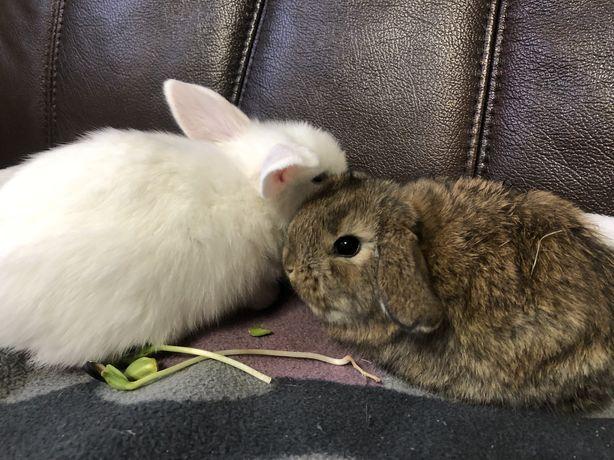 Голандський міні  кролик, NHD/ Mini Lop, висловушки кролики