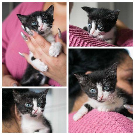Любопытная черно-белая кошечка ищет дом, 1,5 мес, еще котенок