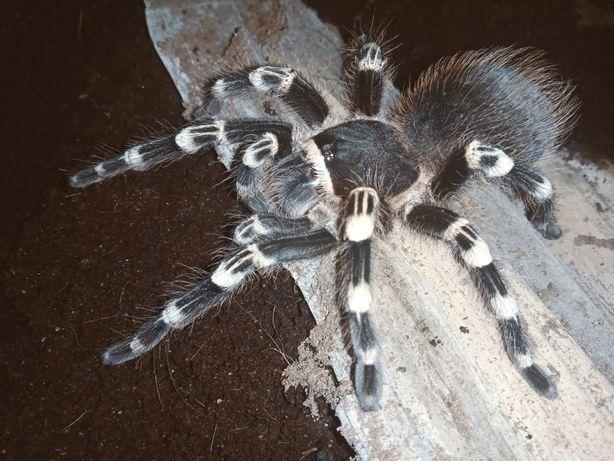 Продам паука Аcanthoscurria geniculata, 9-10L, читать описание.