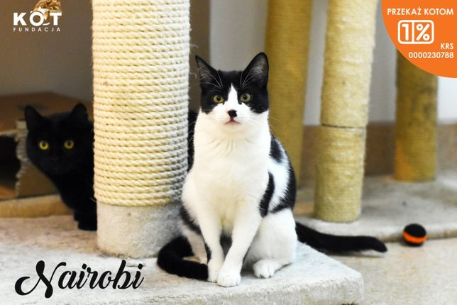 Nairobi - ciekawska kotka szuka domu - cała Polska
