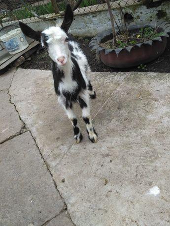 Продам шуті кози