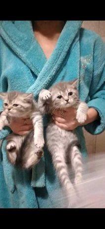 Female kitten scottish straight