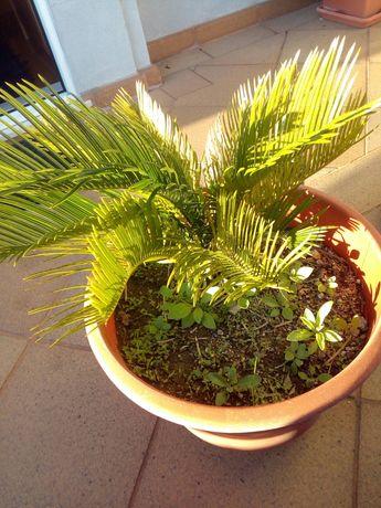 Palmeira sica ou Sagu de jardim