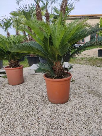 Cycas Revoluta Sagowiec odwinięty wysokość pnia ok 40 cm