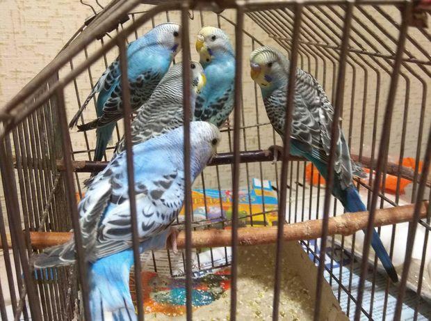 Попугаи волнушка самцы