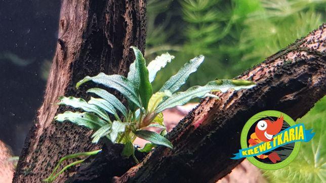 Bucephalandra Pygmaea na lignicie! - tylko na wyspie Borneo!