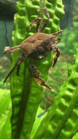 Krab Mekong Thelphusa