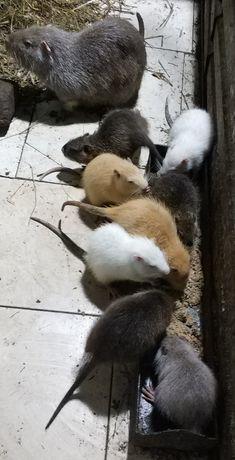Продаются щенки нутрии, молодые нутрии: котные самки, самцы. Харьков.