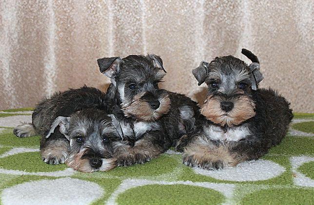 Цвергшнауцера щенки из хорошей семьи ждут своих любящих владельцев!