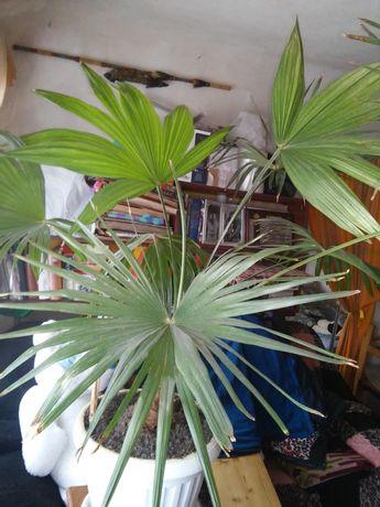 """Продам пальму """"вашингтония"""""""