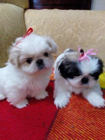 Ши -Тцу щеночки красавчики