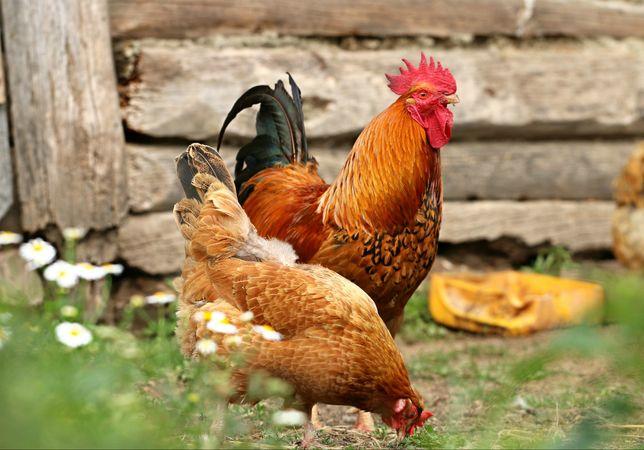 Kaczki gęsi Kokoszki kury kolorowe perliczki brojlery ferma certyfikat