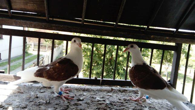Śląskie tarczowe, dekle, gołębie ozdobne