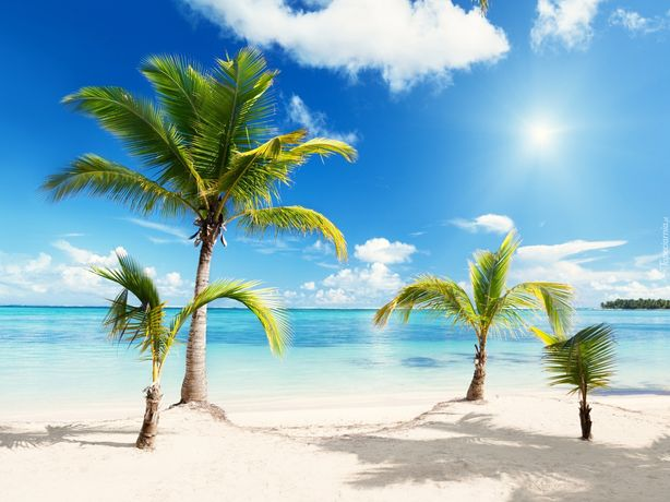 Sadzonki, palma Trachycarpus fortunei. Mrozoodporna, palmy, wakacje,