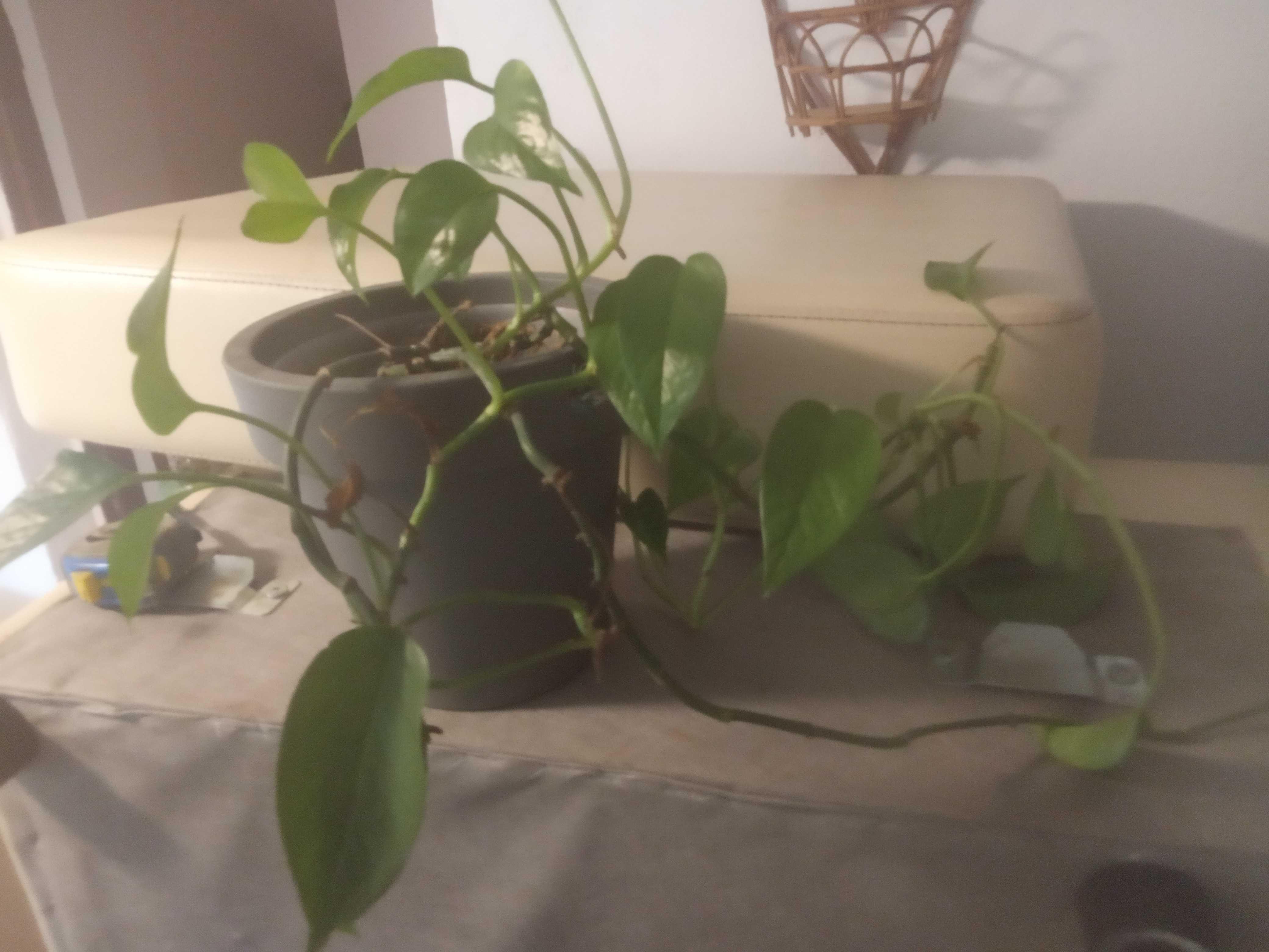 roślina dekoracyjna pnącze epipremnum