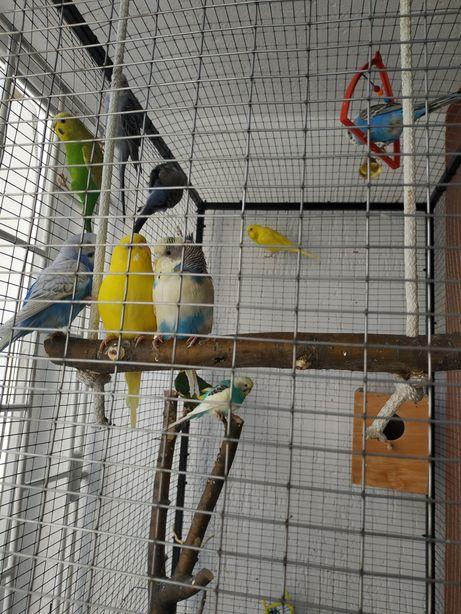 Продаються хвилясті папуги!