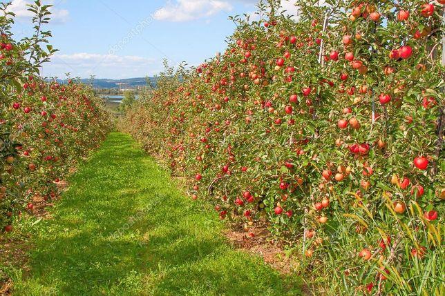 Сад Чернівці яблуневий яблука