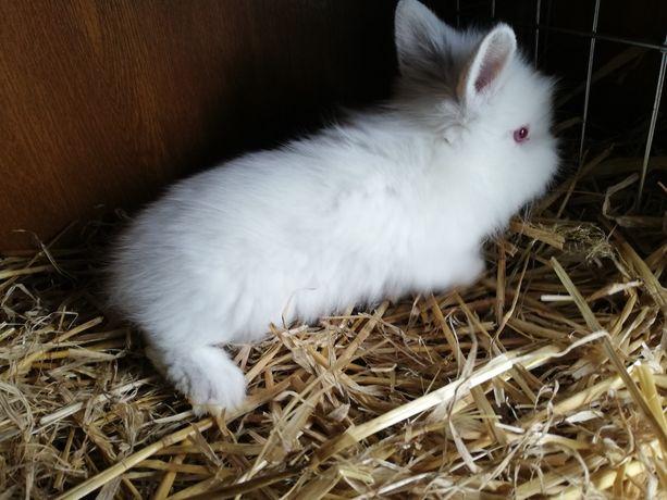 Młode króliki miniaturki