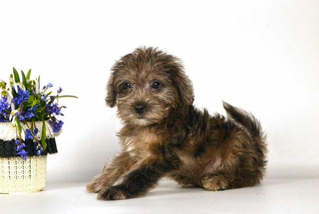 Нарядный щенок мальтипу
