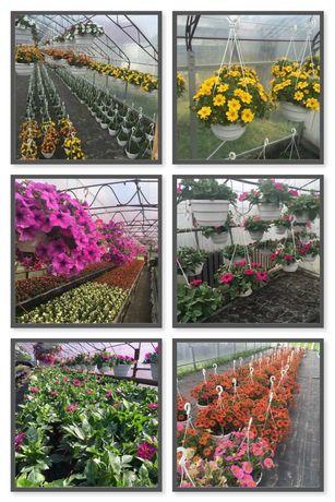 Декоративні квіти(сурфінія, біденс, калібрахоа, георгіна, фуксія)