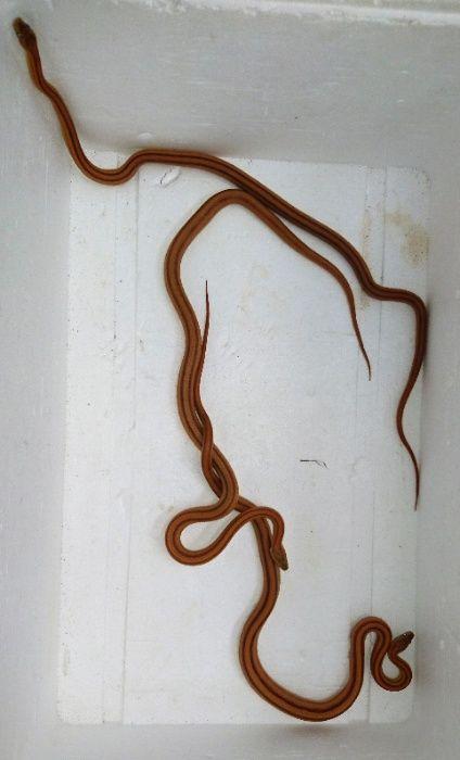 Wąż zbożowy, węże. Tylko teraz -50%