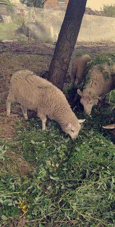 sprzedam młode owieczki