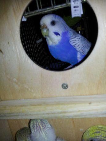 Волнистый попугайчик ЖАК+ ЖАСМИН - друг вашего малыша