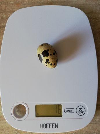 Jajka przepiórcze lęgowe przepiórki jaja