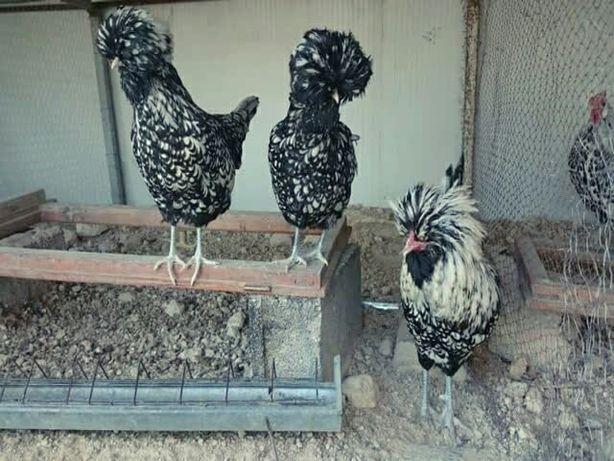 Продаются инкубационное яйцо,птенцы,Падуан золото,серебро,белое золото
