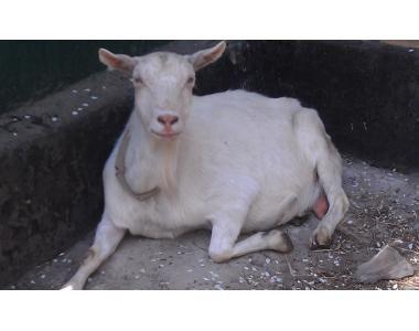 Продам елітних, молочних козочок, козлят, племенних козлів.