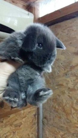 Крольчонок карликовый баран ( вислоухий) окрас шоколадный мардер