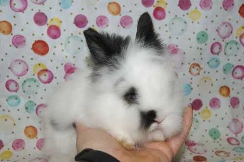 Przecudny króliczek karzełek. Teddy