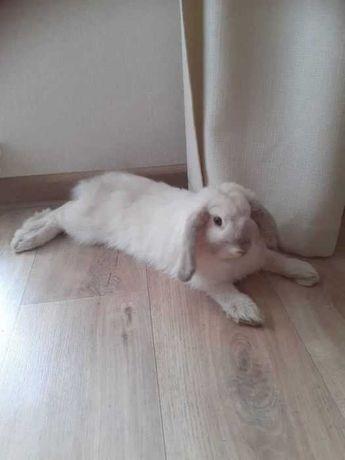 кролик вислоухий баранчик